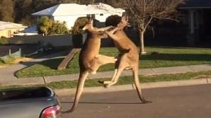 VIDEO: Δύο καγκουρό παίζουν ξύλο μεταξύ τους σε επαρχία της Αυστραλίας
