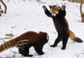 Αυτό το βίντεο με τα κόκκινα Pandas να παίζουν με το χιόνι είναι ό,τι πιο χαριτωμένο έχεις δει ποτέ