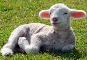Βοσκός στο Αγρίνιο καταλήγει στο νοσοκομείο επειδή έκανε έρωτα με πρόβατο