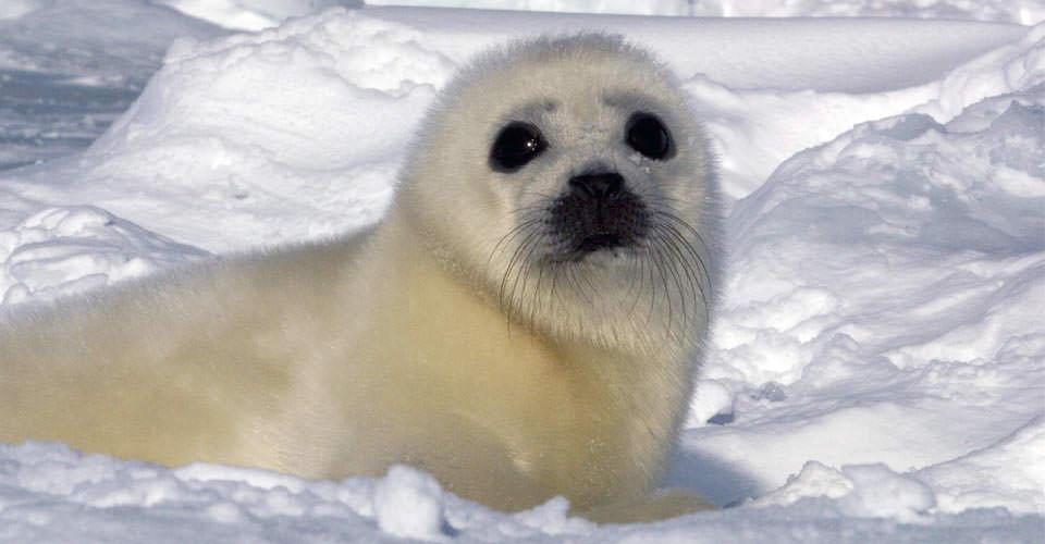 North-Harp-Seal-Watch-1-ice-seal