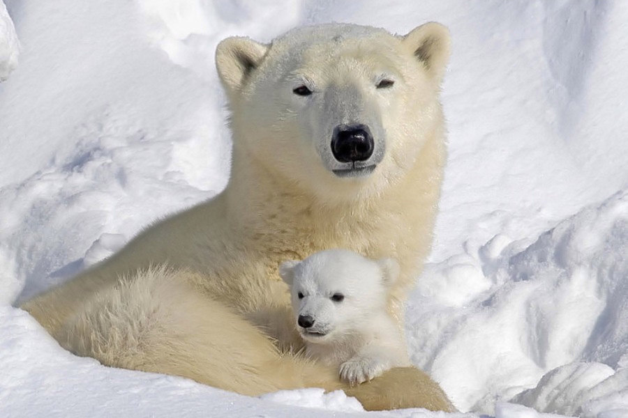 polarbearcute