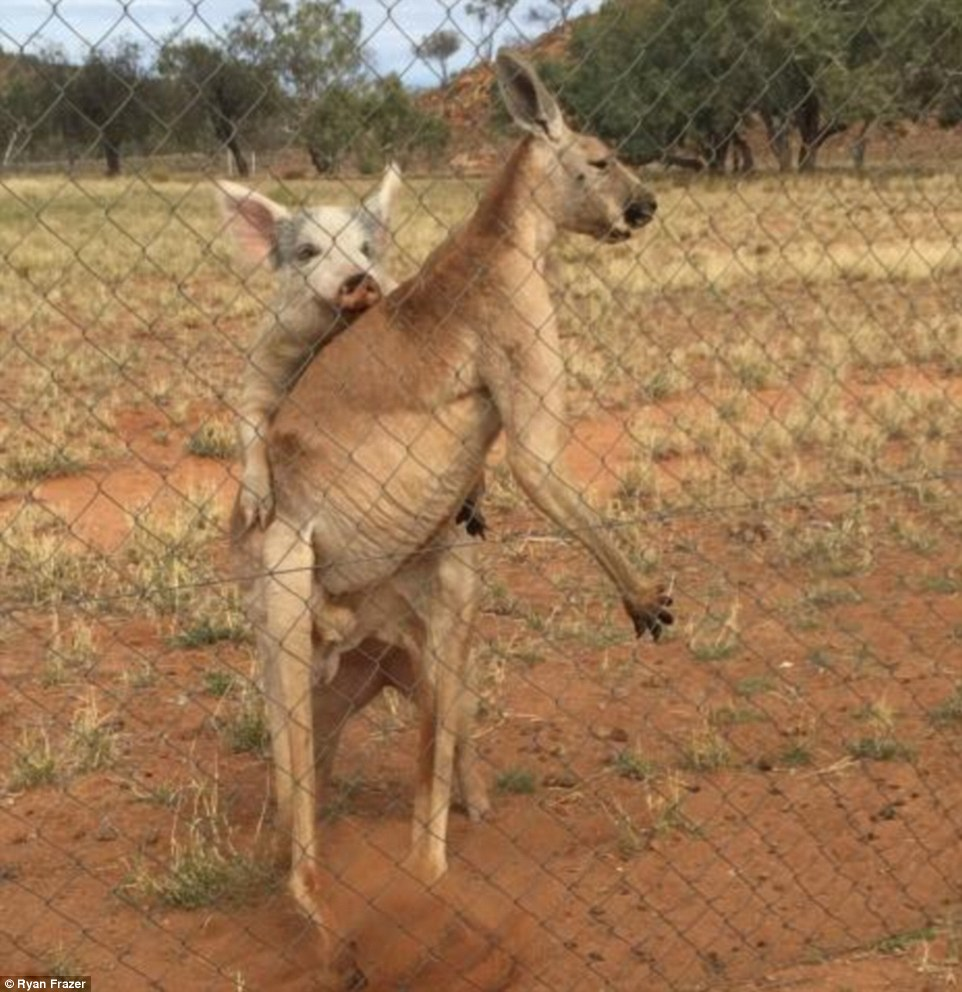 351C5C2E00000578-3634548-Mr_Frazer_said_when_the_kangaroo_was_finished_the_pig_tried_to_j-a-55_1465529027206