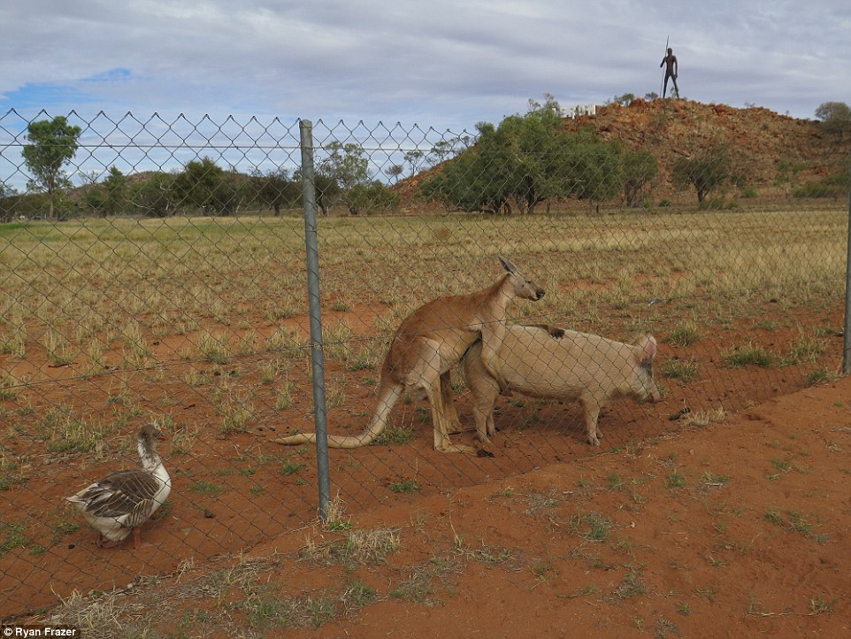 351C6F0500000578-0-After_a_few_minutes_the_kangaroo_moved_to_the_back_of_the_pig_an-a-36_1465527905383