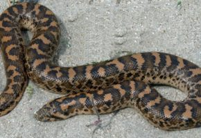 Τερατώδες φίδι ίσως κατασπαράζει αρνιά στην Ηλεία αυτές τις μέρες, σύμφωνα με κατοίκους