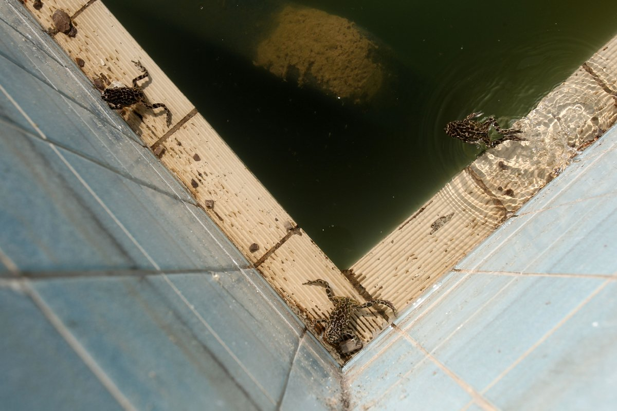 frogs-live-in-the-training-pool-at-the-olympic-village