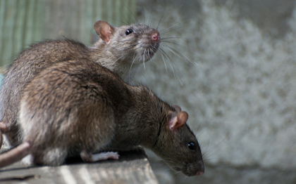 φητ ποντικια