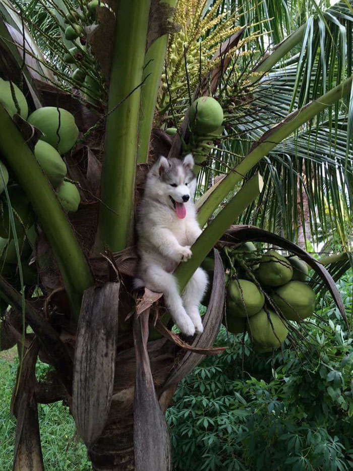 husky-tree-photoshop-battle-1-1