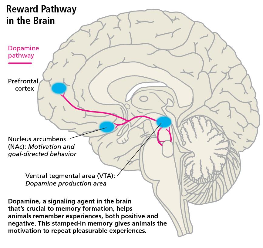 reward-pathway