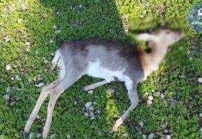 Πειραγμένος με όπλο έχει σκοτώσει πάνω από 20 ελάφια τις τελευταίες εβδομάδες στη Ρόδο (PHOTOS)
