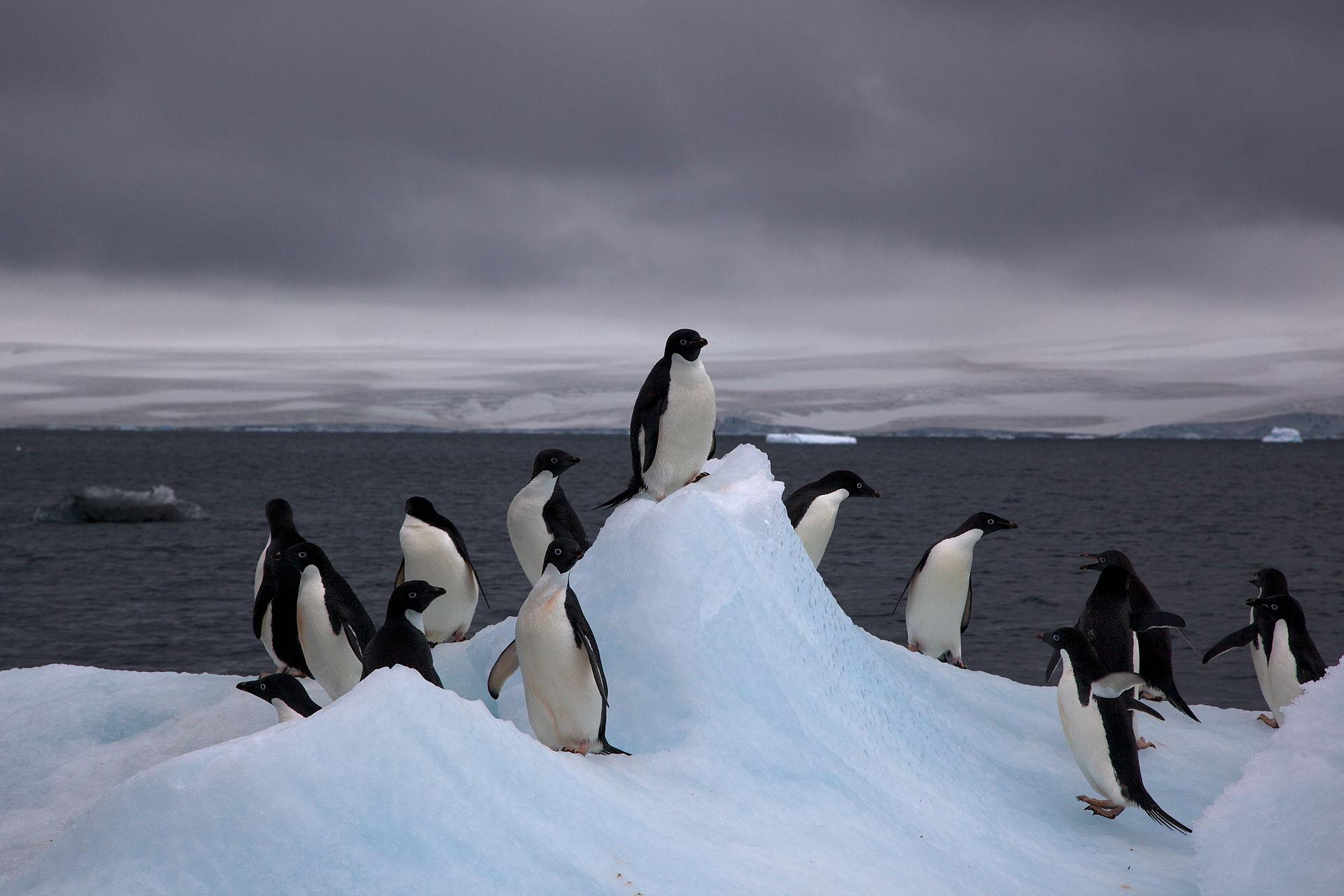Adelie_Penguins_on_iceberg