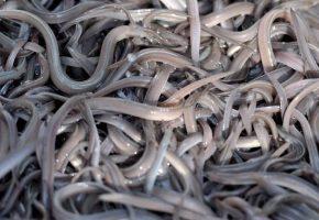 Όσκαρ πρωτότυπης παρανομίας: Πιάστηκε σπείρα που έβγαζε εκατομμύρια κάνοντας λαθρεμπόριο σπάνιων χελιών με την Κίνα